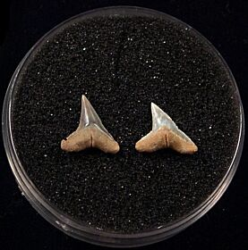 Rare Miocene Sandbar shark teeth for sale | Buried Treasure Fossils. Tooth on the right.