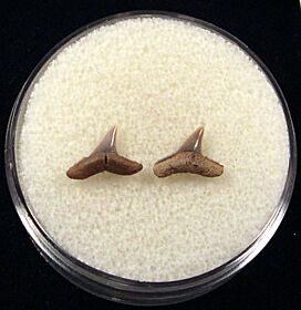 Real Sumatran Blacktip shark tooth for sale | Buried Treasure Fossils. Tooth on left.
