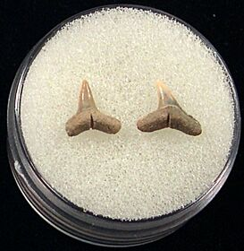 Real Blacktip shark teeth for sale | Buried Treasure Fossils. Tooth on left.