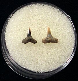 Rare Blacktip shark tooth for sale | Buried Treasure Fossils. Tooth on left.