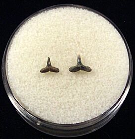 Rare Blacktip shark tooth for sale | Buried Treasure Fossils. Tooth on right.