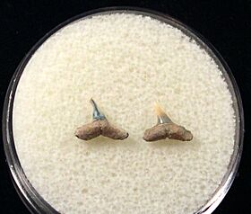 Rare Miocene Carcharhinus macloti shark tooth for sale | Buried Treasure Fossils. Tooth on left.