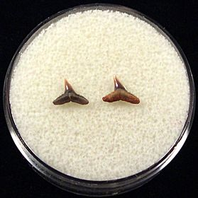 Rare Sumatran Carcharhinus macloti shark teeth for sale | Buried Treasure Fossils. Tooth on left.