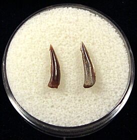 Rare Sumatran Trichiurides shark tooth for sale | Buried Treasure Fossils. Tooth on the right.