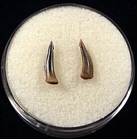Real Sumatran Trichiurides shark teeth for sale | Buried Treasure Fossils. Tooth on the right.