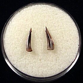 Rare Sumatran Trichiurides shark tooth for sale | Buried Treasure Fossils. Tooth on the left.
