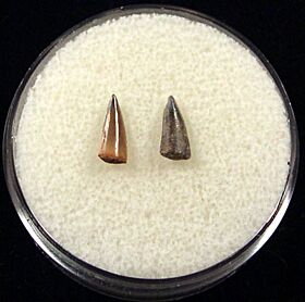 Rare Sumatran Barracuda teeth for sale | Buried Treasure Fossils. Tooth on left.