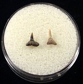 Real Glyphis shark tooth for sale | Buried Treasure Fossils. Tooth on the right.