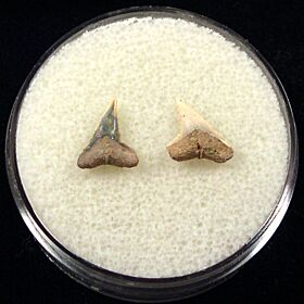 Rare Spearhead shark tooth for sale | Buried Treasure Fossils. Tooth on the left.