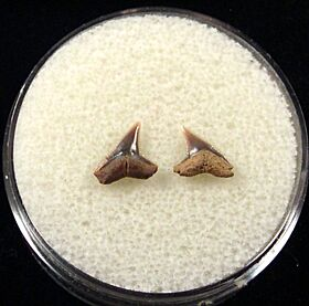 Rare Spearhead shark tooth for sale | Buried Treasure Fossils. Tooth on the right.