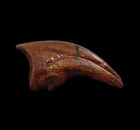 Anzu claw for sale |Buried Treasure Fossils