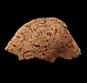 Ankylosaur scute for sale | Buried Treasure Fossils