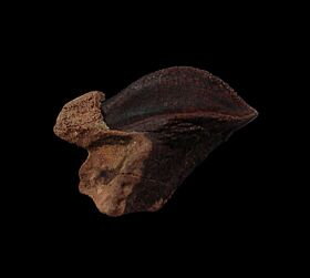 Top quality rooted Triceratops tooth for sale | Buried Treasure Fossils