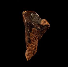 Colorful rooted Triceratops tooth for sale | Buried Treasure Fossils