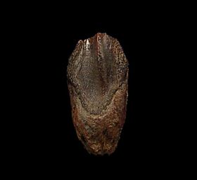 Triceratops spitter dinosaur tooth for sale | Buried Treasure Fossils
