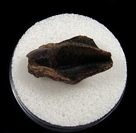 Real Triceratops spitter tooth for sale | Buried Treasure Fossils