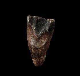 Extra Large Triceratops spitter tooth for sale | Buried Treasure Fossils