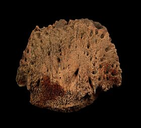 Triceratops hoof core for sale | Buried Treasure Fossils