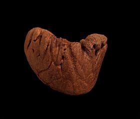 Rare Triceratops upper beak for sale | Buried Treasure Fossils