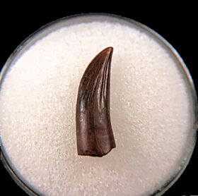 Paronychodon lacustris tooth for sale | Buried Treasure Fossils
