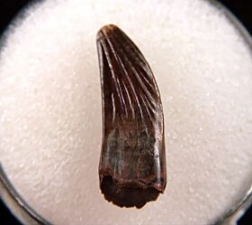 Large Paronychodon tooth for sale | Buried Treasure Fossils