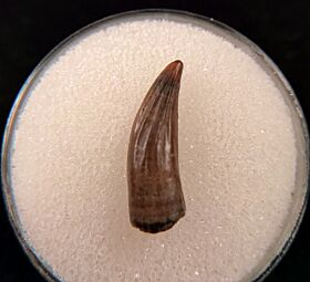 Hell Creek Paronychodon tooth for sale | Buried Treasure Fossils