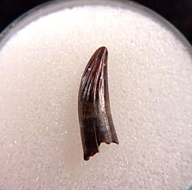 Cretaceous Paronychodon tooth for sale | Buried Treasure Fossils