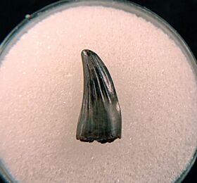 Quality Paronychodon tooth for sale | Buried Treasure Fossils