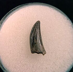 Nice Paronychodon tooth for sale | Buried Treasure Fossils