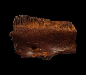 Hadrosaur lower jaw section for sale | Buried Treasure Fossils