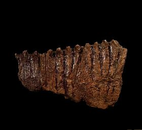 Edmontosaurus lower jaw section for sale | Buried Treasure Fossils