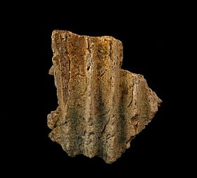 Hadrosaur jaw section for sale | Buried Treasure Fossils