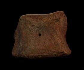 Large Edmontosaurus toe bones for sale | Buried Treasure Fossils