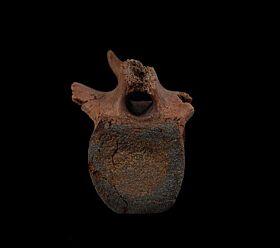 Hell Creek Hadrosaur vertebra | Buried Treasure Fossils