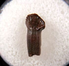 Rooted Thescelosaurus tooth for sale | Buried Treasure Fossils