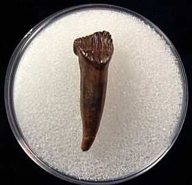 Thescelosaurus rooted tooth for sale | Buried Treasure Fossils