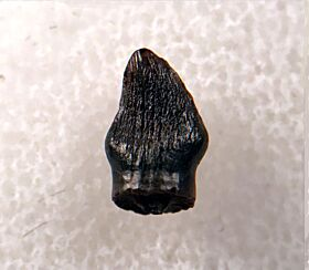 Rooted Thescelosaurus premaxillary tooth for sale | Buried Treasure Fossils