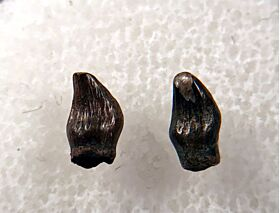 Quality Thescelosaurus premaxillary tooth for sale | Buried Treasure Fossils