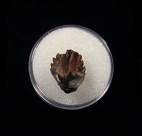 Rare Ankylosaurus tooth for sale | Buried Treasure Fossils