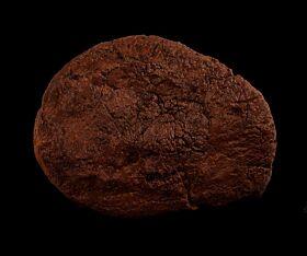 Lance Creek Denversaurus scute for sale | Buried Treasure Fossils