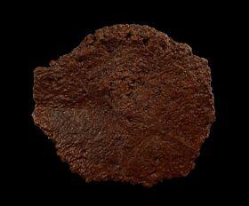 Ankylosaurus scute for sale | Buried Treasure Fossils