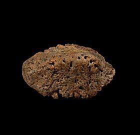 Campanian Ankylosaur scute for sale | Buried Treasure Fossils