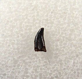 Avisaurus archibaldi tooth for sale | Buried Treasure Fossils