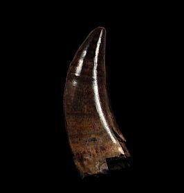 Nano Premax tooth for sale | Buried Treasure Fossils