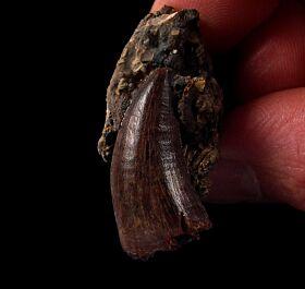 Rare Nanotyrannus  teeth for sale | Buried Treasure Fossils
