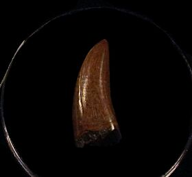 Extra Large Nanotyrannus tooth for sale | Buried Treasure Fossils