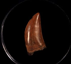 Juvenile T rex tooth for sale | Buried Treasure Fossils