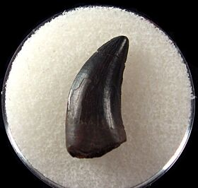 Juvenile Nano tooth for sale | Buried Treasure Fossils