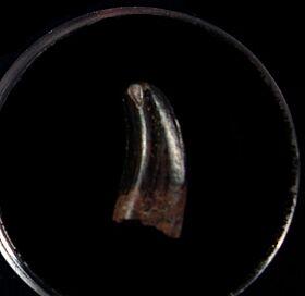 Real Nanotyrannus tooth for sale | Buried Treasure Fossils