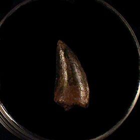 Cheap Nanotyrannus tooth for sale | Buried Treasure Fossils